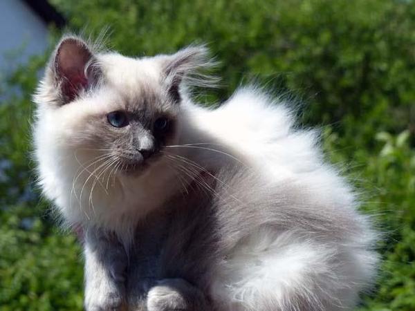 zauberhaftes-ragdoll-kitten-foto-bild-100449053