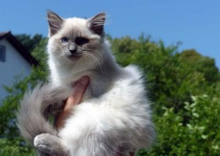 zauberhaftes-ragdoll-kitten-foto-bild-100449054