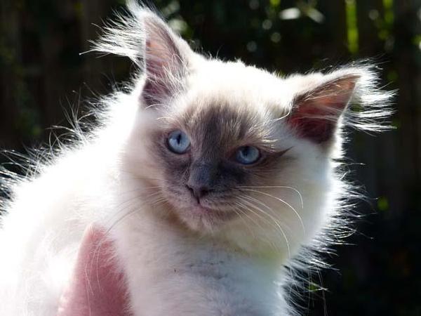 zauberhaftes-ragdoll-kitten-foto-bild-100449055