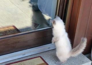 zauberhaftes-ragdoll-kitten-foto-bild-100449056