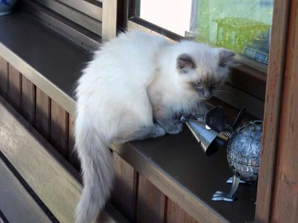 zauberhaftes-ragdoll-kitten-foto-bild-100449059