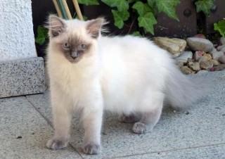 zauberhaftes-ragdoll-kitten-foto-bild-100449064