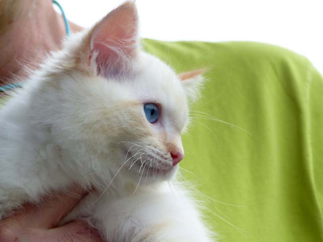 Castor-red-tabby-mitted1
