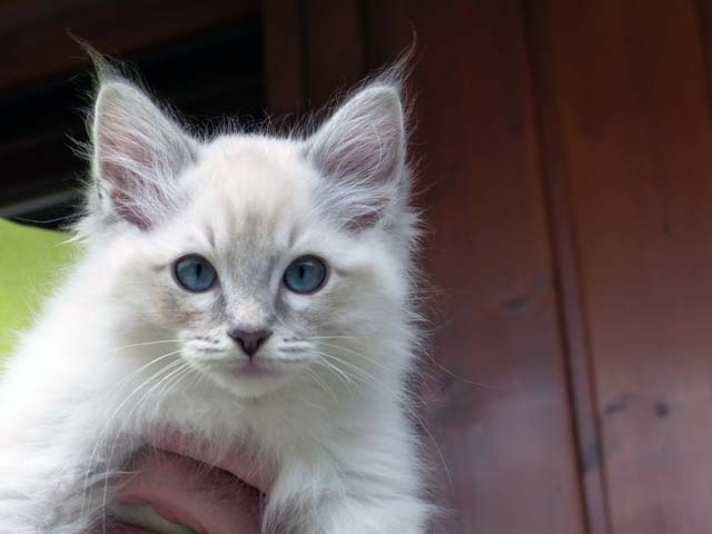 Clarence_blue-tabby-mitted-lynx1