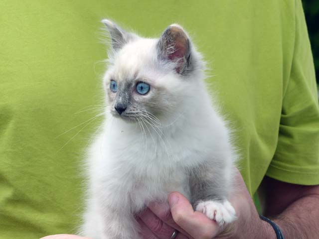 Cleopatra-blue-tortie-mitted