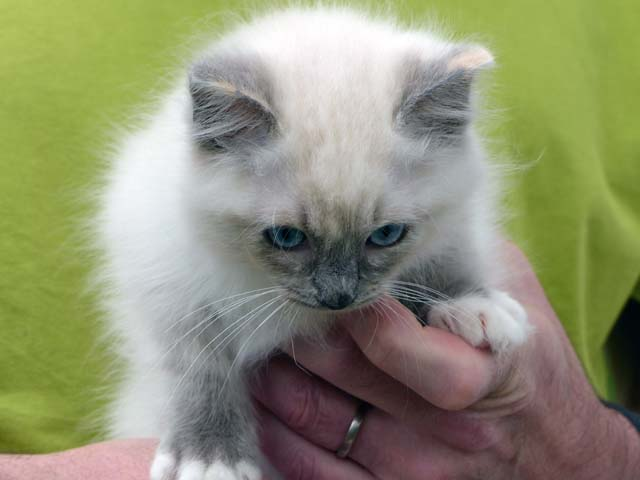 Cleopatra-blue-tortie-mitted1