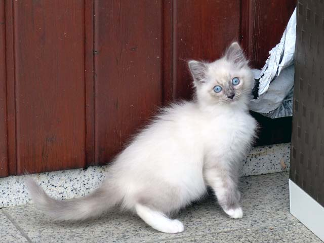 Cleopatra-blue-tortie-mitted2