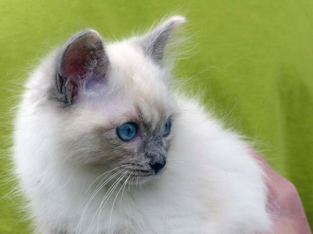 Cleopatra-blue-tortie-mitted3