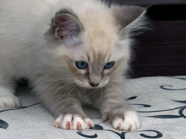 Cubitus_blue-tabby-mitted-lynx1